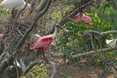 ibises spoonbills