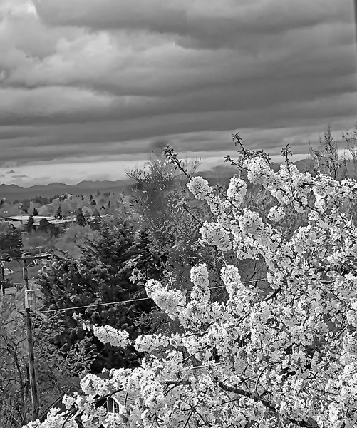 cherry blossoms in Black and White