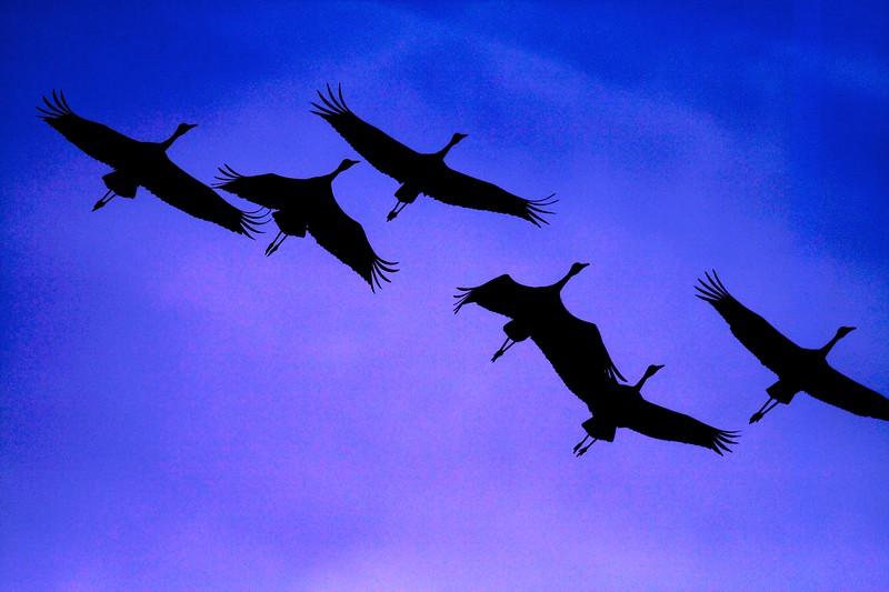 Sandhill Cranes migrating south over Crex Meadows  [October 2008, near Grantsburg, Wisconsin]