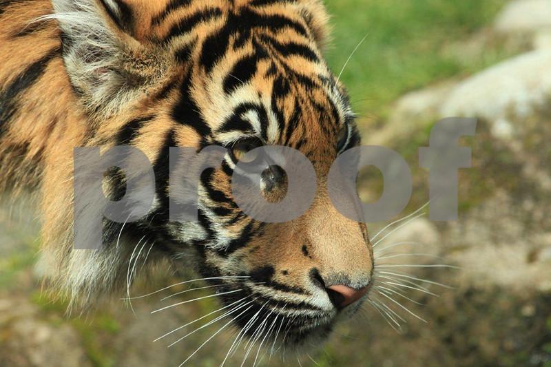 Sumatran tiger 2529.jpg