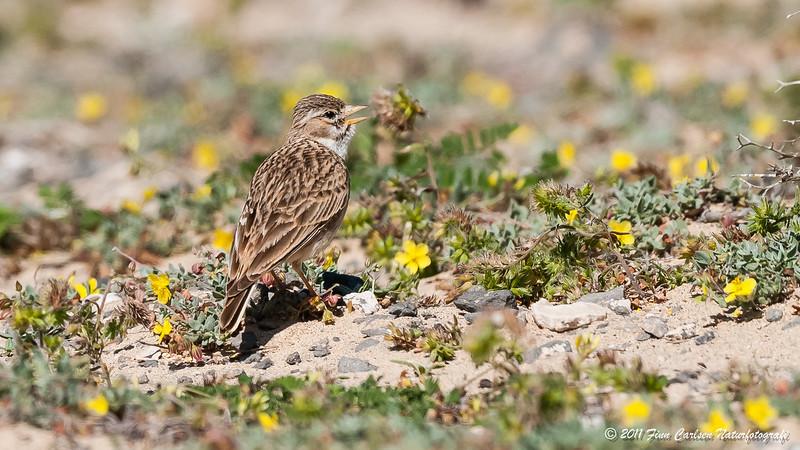Dværglærke - Calandrella rufescens - Lesser short-toed lark