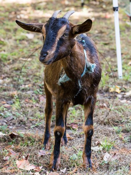 Goats-228.jpg