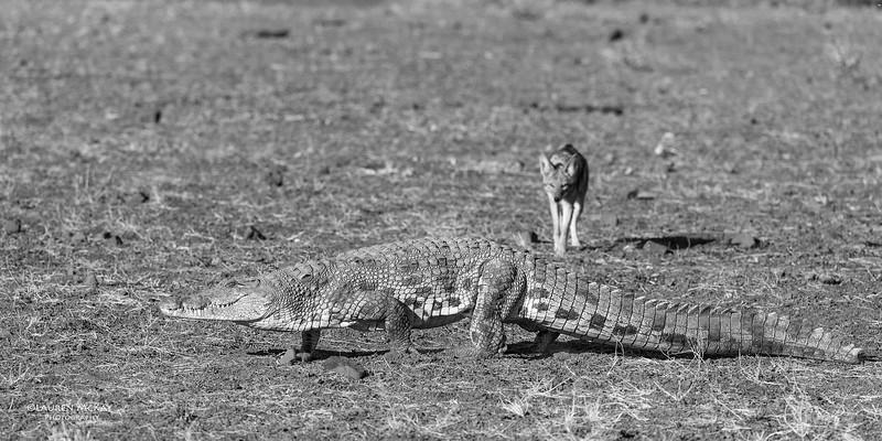 Black-backed Jackal & Nile Crocodile, b&w, Mashatu GR, Botwana, May 2017-1.jpg