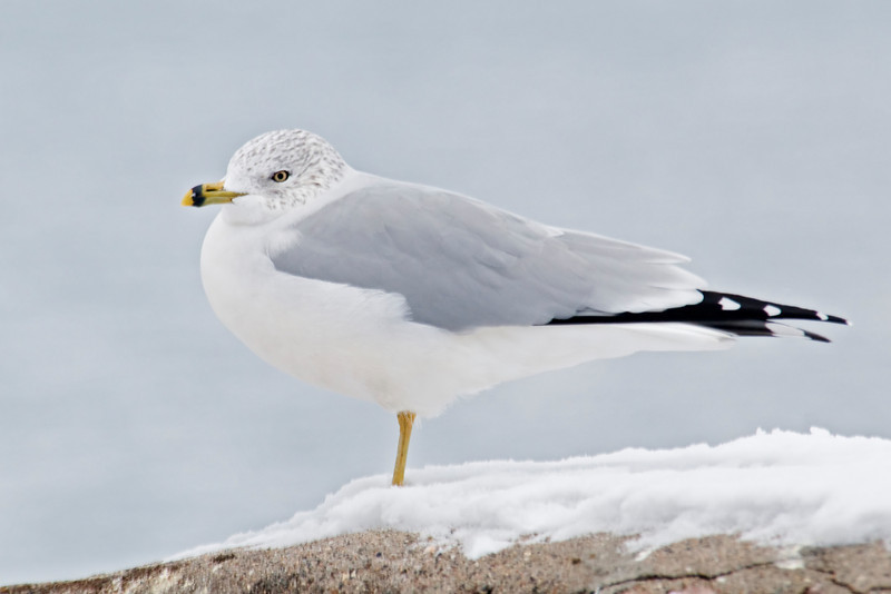 Gull - Ring-billed - Garrison, MN