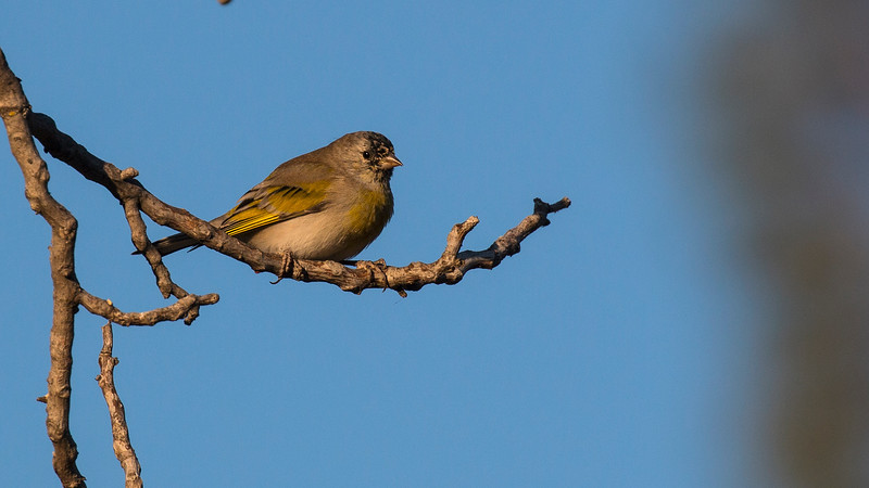 Lawrence's Goldfinch at Deer Creek Campground