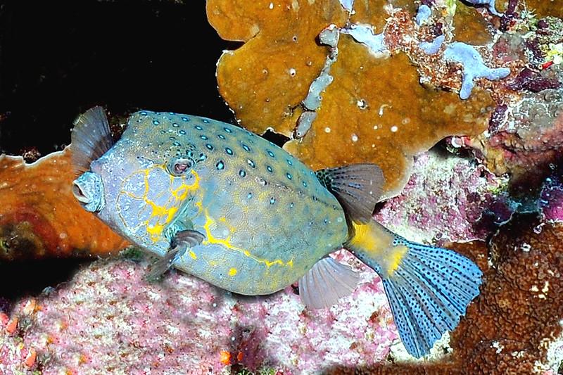 Blue Puffer Australia
