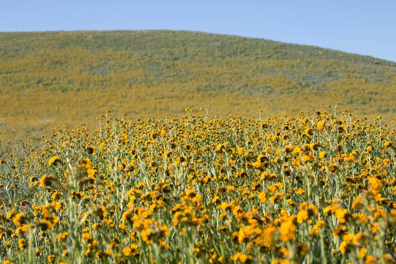 lots of yellow fleurs.jpg