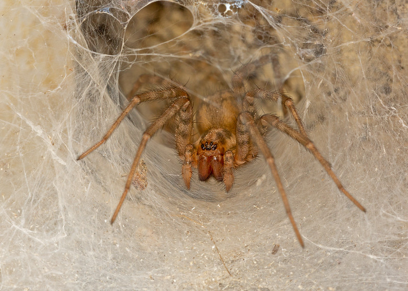 Tegenaria Sp. Spider