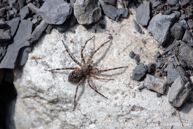 Dark fishing spider with regrown leg
