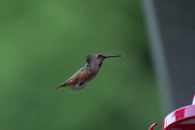 humming bird (42 of 55).jpg