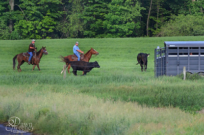 Tracys cows got out heres the chase