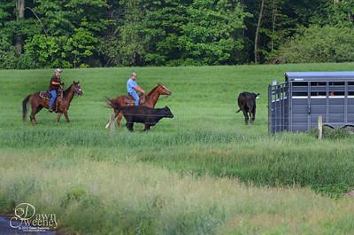 2012 cows