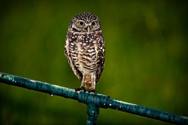 082017_Burrowing_Owl