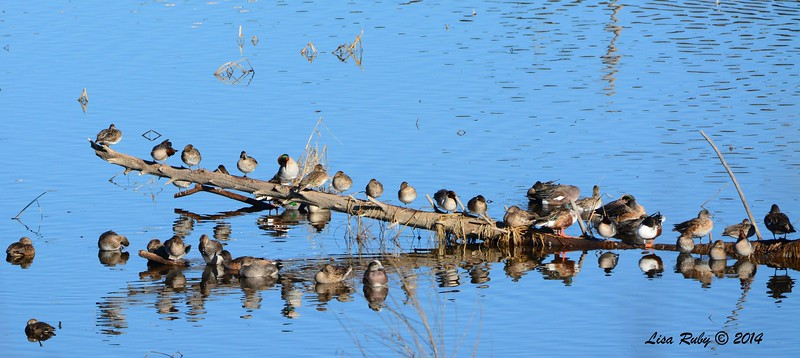 Stick of Ducks - 1/2/2015 - Lake Hodges southeast trail