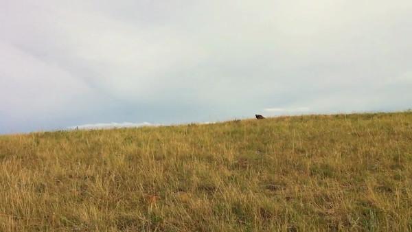 Golden Eagle Marshall Mesa
