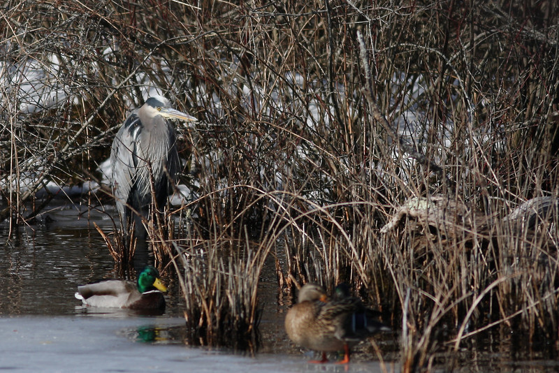 A great blue heron hides in the reeds at the Quogue Wildlife Refuge.