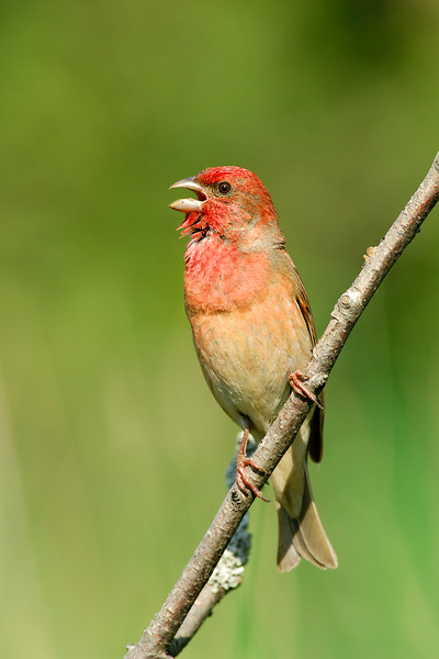 Rosefinch , Rosenfink