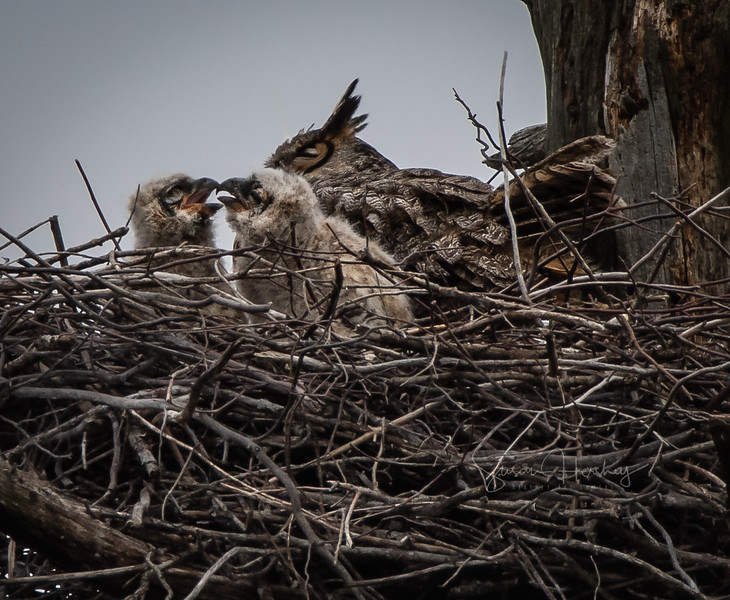 Great Horned owlets & Mama