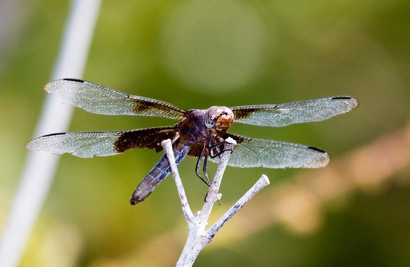 widow skimmer female