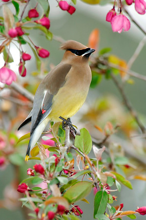 Waxwings, Bob-o-Link, Catbirds, Mockingbirds, Grosbeaks, Cowbird, Chats