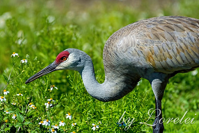 Cranes / Pelicans / Storks