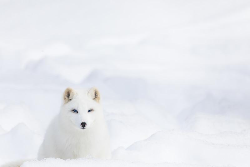 Arctic Fox Omega.jpg