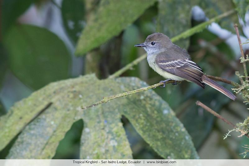 Tropical Kingbird - San Isidro Lodge, Ecuador