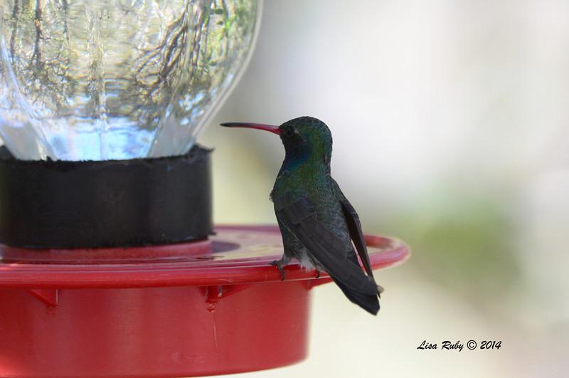 Broad-billed Hummingbird - 4/21/2014 - Beatty's Guest Ranch, Miracle Valley, Arizona