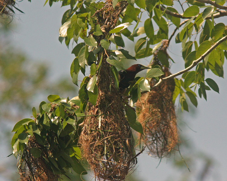 Oropendula in hanging nest, Summit Park Panama