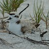 Snowy Plover and new hatchling, two eggs still to hatch.  Afternoon of April 29, 2013 in Sanibel, Florida.