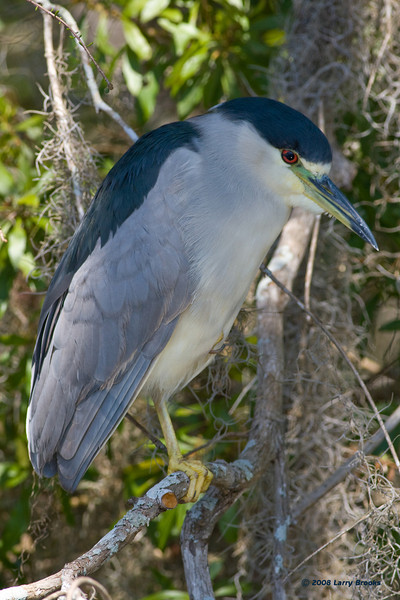 A Black-crowned Night-Heron, just woken from a nap, at Ponce de Leon Springs SP