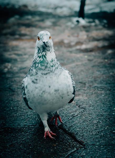 Central park pigeon.jpg