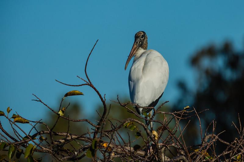 A wood stork sits atop a limb near its nest at  Wakohatchee Wetlands in  Delray Beach, Florida on Friday, February 26, 2016. (Joseph Forzano / The Palm Beach Post)