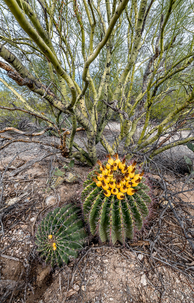 BR - Barrel Cactus and Paloverde #2