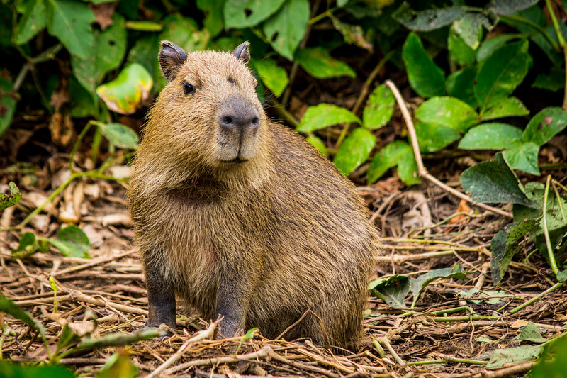 Capybara of the Pantanal, Brazil-5.jpg