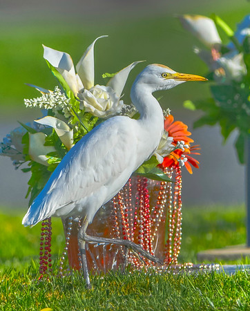 Egret Portraits in colors