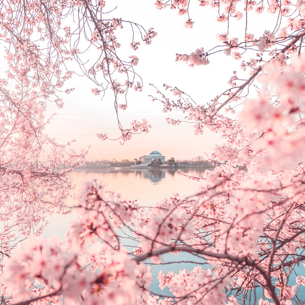 DC Cherry Blossom Tones