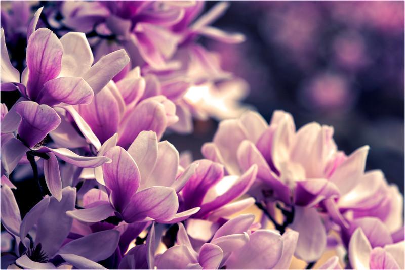 20120323_magnolia_03.jpg