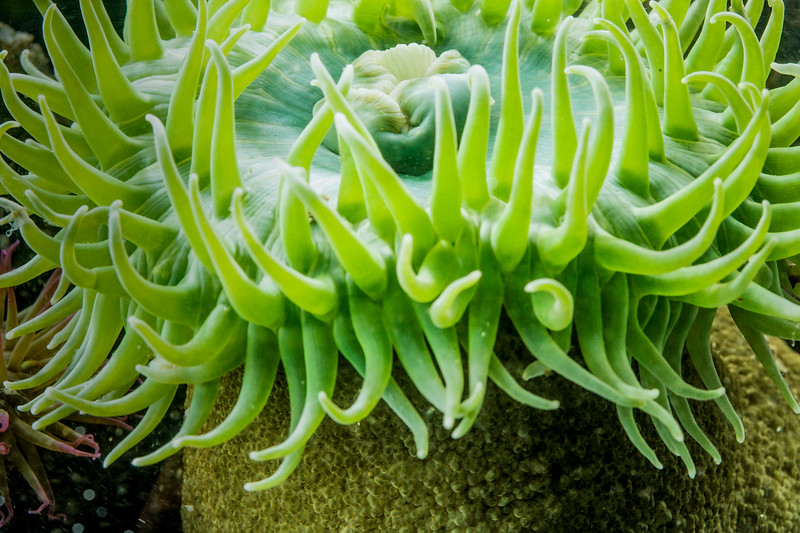 Giant green anenome (Anthopleura xanthogrammica), rockpool, Vancouver Island, British Columbia