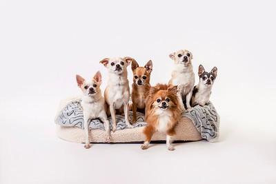 Hyatt Chihuahuas