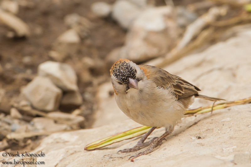 Speckle-fronted Weaver - Olduvai Gorge, Tanzania