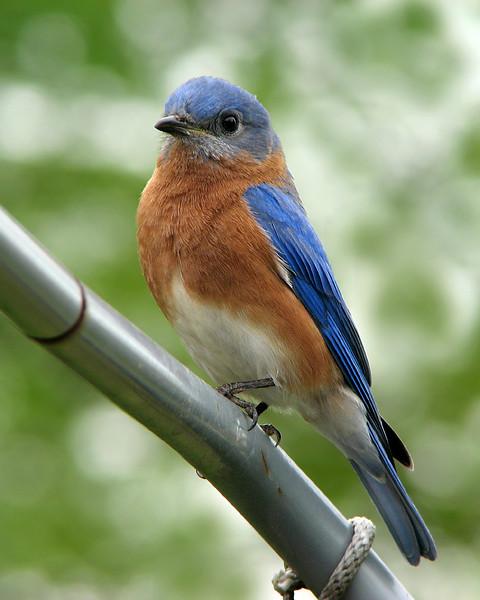 bluebird_5015.jpg