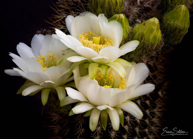 Torch Cactus 6-24-2018c-.jpg