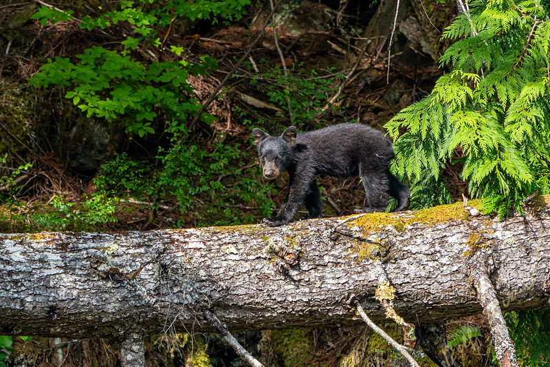 First year black bear cub walking over a tree on an island in the Broughton Archipelago, British Columbia, Canada.