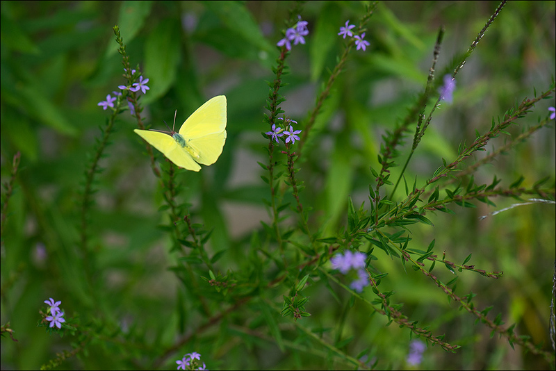 Lime and Yellow Butterfly 1.jpg