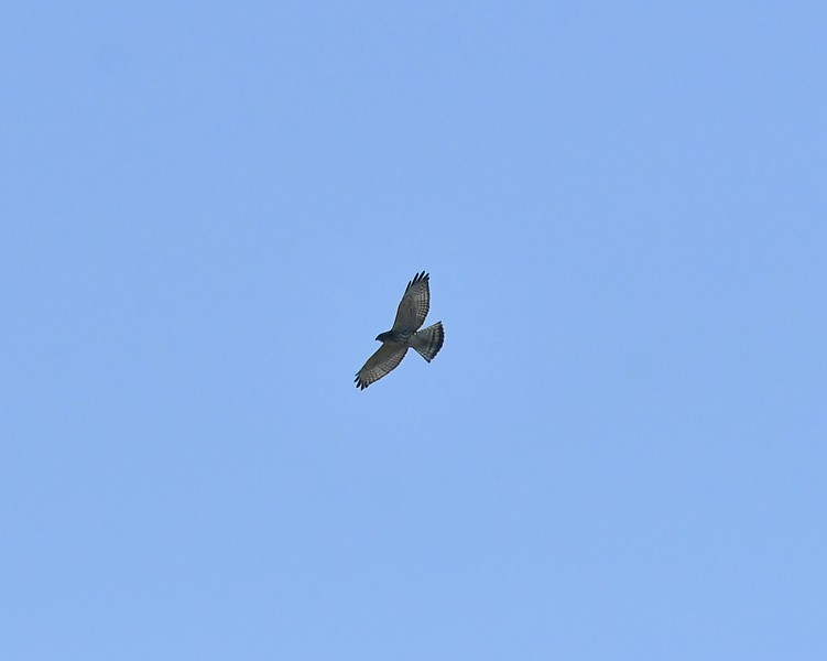 Broad-winged Hawk.jpg
