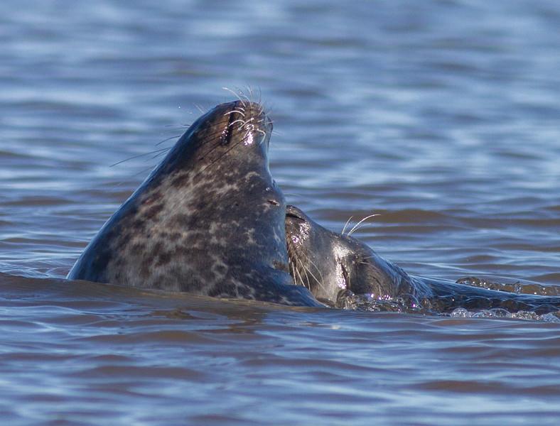 Harbor Seal Cape Merry Hudson Bay Churchill Manitoba Canada IMG_0769.jpg
