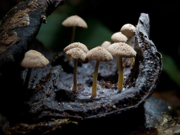 Vanuatu Fungi