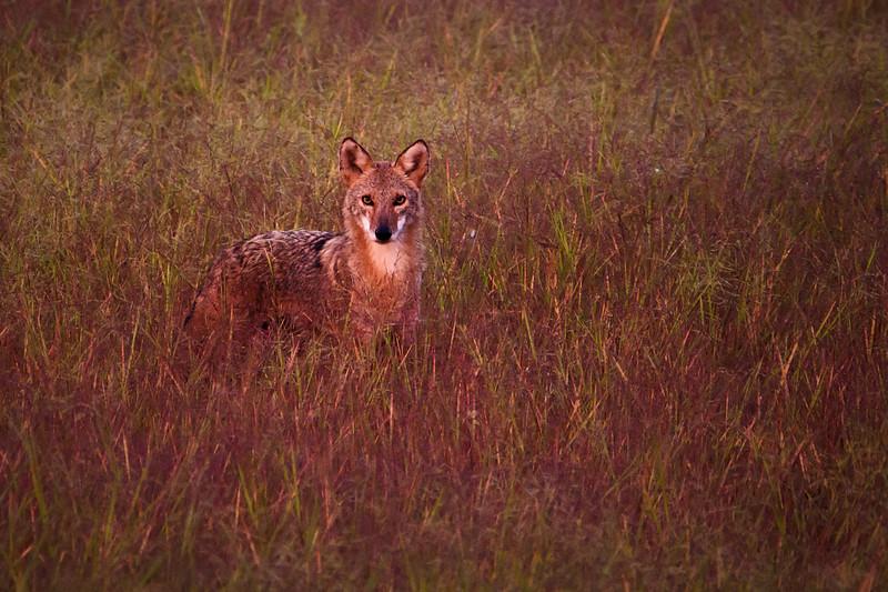 9.18.18 - Blackburn Creek Fish Hatchery: Coyote