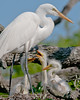 Great Egret and Chicks at the Alligator Farm #1 04/14